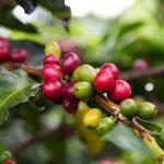 Pēc 60 gadiem kafijas krūmi var izzust – garšas ziņā nekas nespēs aizstāt kafiju