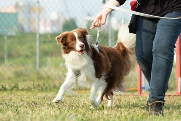 Alerģiju dēļ par suņu kārumu aktualitāti kļūst dabīgas izejvielas